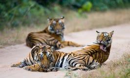 小组在路的野生老虎 印度 17 2010年bandhavgarh bandhavgarth地区大象印度madhya行军国家公园pradesh乘驾umaria 中央邦 库存图片