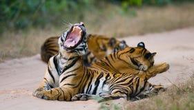 小组在路的野生老虎 印度 17 2010年bandhavgarh bandhavgarth地区大象印度madhya行军国家公园pradesh乘驾umaria 中央邦 库存照片