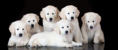 小组在黑色的金毛猎犬小狗 免版税库存照片