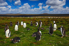 小组在绿草的企鹅国王 与蓝天的Gentoo企鹅与白色云彩 企鹅在自然栖所 鸟舍 免版税库存图片
