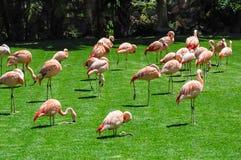 小组在绿草的火鸟 免版税库存照片