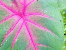 小滴在canna叶子的雨 库存图片
