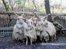 小组地道匈牙利绵羊品种名字是racka 图库摄影