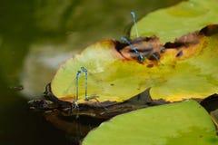小组天蓝色蜻蜓联接 库存照片