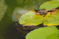 小组天蓝色蜻蜓联接 免版税库存图片