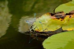 小组天蓝色蜻蜓联接 图库摄影
