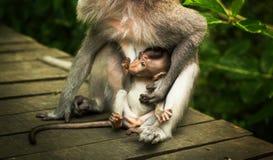 小猴子和她的母亲 免版税库存照片