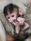 小猴子和母亲 图库摄影