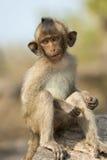 小猴子坐岩石 库存照片