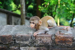 小猴子想要从访客的食物 免版税库存照片