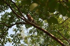 小猴子爬树并且看照相机 免版税库存图片