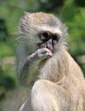 小猴子vervet 库存照片