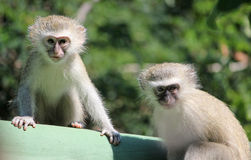 小猴子vervet 免版税库存照片