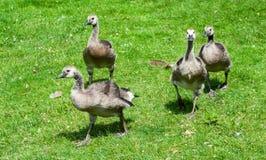 小组少年加拿大鹅走 免版税库存照片