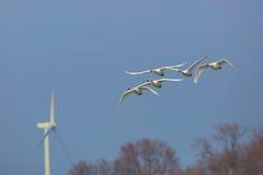 小组移居通过风轮机的寒带苔原天鹅 库存照片