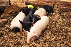 小组幼小猪 库存图片