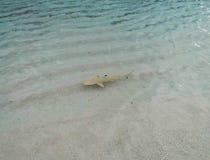 小年轻黑技巧礁石鲨鱼 库存照片