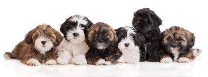 小组拉萨在白色的apso小狗 免版税库存照片