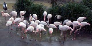 小组(轻拍)在池塘附近的火鸟 免版税图库摄影