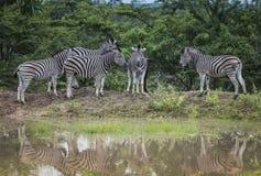 小组斑马在狂放的自然的南非 库存照片