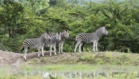 小组斑马在狂放的自然的南非 免版税图库摄影