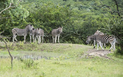 小组斑马在狂放的自然的南非 库存图片