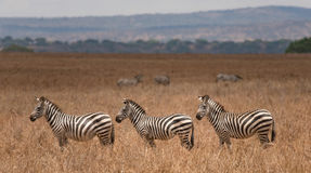 小组斑马在Tarangire国家公园 图库摄影