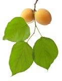 小组新鲜的成熟杏子 图库摄影