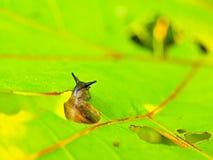 小黑暗的蜗牛饲料新鲜的绿色叶子 对蜗牛的非常特写镜头视图 免版税库存照片