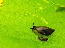 小黑暗的蜗牛饲料新鲜的绿色叶子 对蜗牛的非常特写镜头视图 库存图片