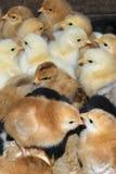 小组最近被孵化的国内小鸡 免版税库存照片