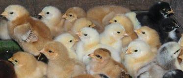 小组最近被孵化的国内小鸡 库存照片