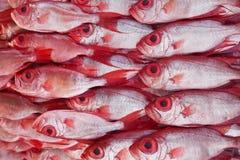 小组木棉鱼,大眼鲷 库存照片