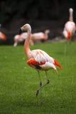 小组桃红色火鸟在它的自然环境里 库存照片
