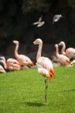 小组桃红色火鸟在它的自然环境里 免版税库存照片