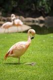 小组桃红色火鸟在它的自然环境里 免版税库存图片