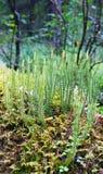 小组植物青苔(石松属的植物),特写镜头 免版税库存图片