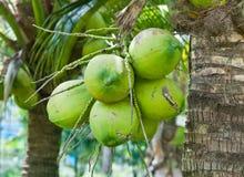 小组年轻椰子 免版税图库摄影
