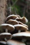 小组榆木蘑菇 图库摄影