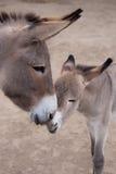小驴母亲 库存图片