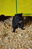 小黑沙鼠攀登从它的风雨棚下面 免版税库存图片