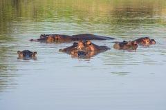 小组河马在水中 免版税库存图片