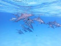 小组海豚在热带海,水下 库存照片