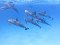 小组海豚在热带海,水下 库存图片