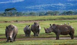 小组犀牛在国家公园 肯尼亚 国家公园 闹事 库存照片