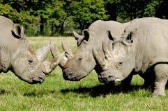 小组犀牛 免版税库存照片