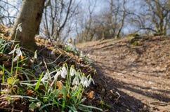 小组狂放的开花的snowdrops在森林 库存图片