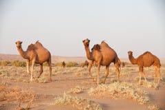 小组独峰驼骆驼在伊朗 免版税库存图片
