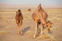 小组独峰驼骆驼在伊朗 免版税库存照片