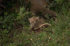 小崽狮子 图库摄影